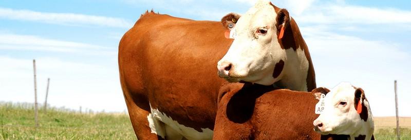 Гајење говеда у систему крава-теле